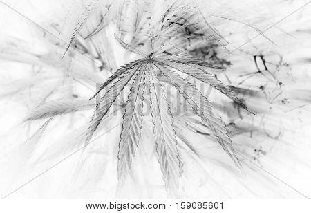 yellow leaf cannabis. marijuana in the blured background.