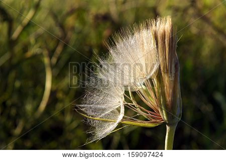 Opens a quarter seedhead of Tragopogon dubious commonly known as yellow salsify or goatsbeard