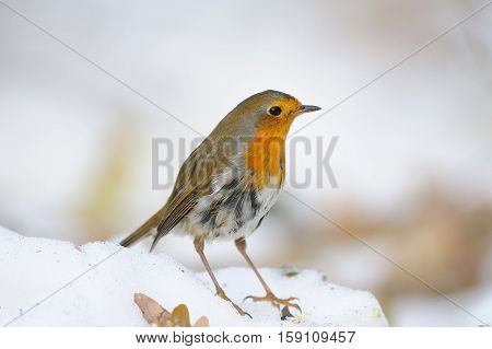 European Robin (Erithacus rubecula) in the snow. Moscow Russia