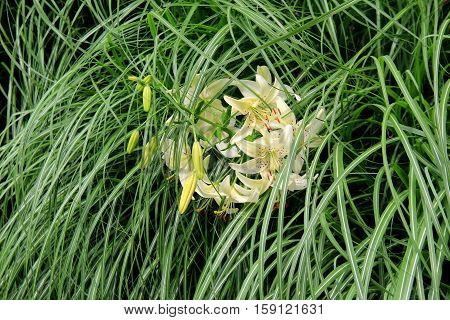 Beautiful cluster of tiger lilies tucked into long grass in garden