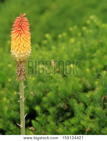 Beautiful orange and yellow flower on long stalk, standing in  pretty landscaped garden.