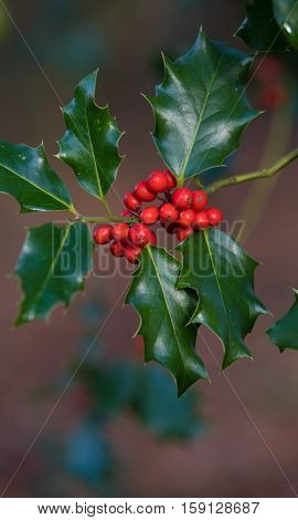 closeup of a holly plant with red fruits