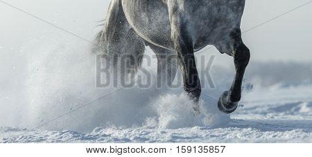 Grey horse run gallop in winter. Legs of horse close up.