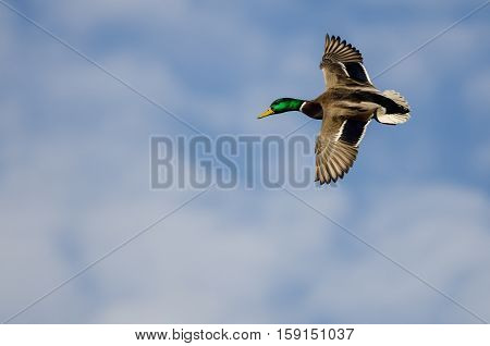 Mallard Duck Flying in a Cloudy Blue Sky