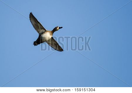 Ring-Necked Duck Flying in a Blue Sky