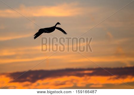 Canada Goose Silhouetted in the Sunset Sky As It Flies