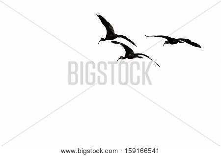 Three Silhouetted White-faced Ibis Flying on a White Background