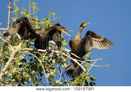 Three Double-Crested Cormorant Perched High in a Tree