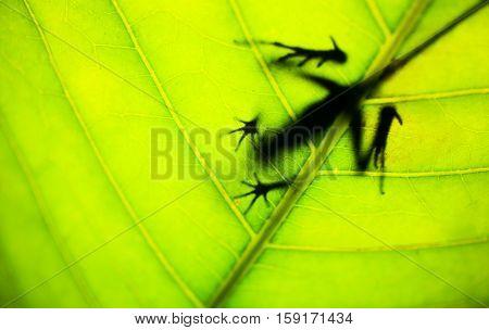 Close up lizard in leaf Otocryptis wiegmanni - Brown-patched Kangaroo lizard in natural habitat - Sniharaja rainforest Sri Lanka