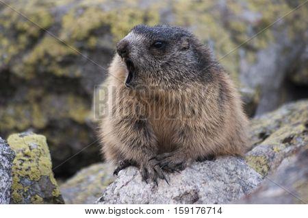 Marmot on the rocks. The Tatra mountains.