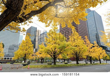 Yellow Ginko Leaves In Autumn.