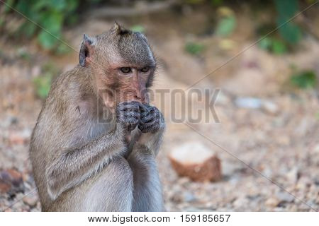 Wildlife monkey eating bread in park. Animal concept.