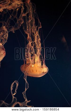 Purple striped jellyfish, Chrysaora colorata, floats gracefully with its tentacles dangling.