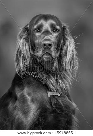 Blak-and-white portrait of dog. Irish Red Setter dog breed.