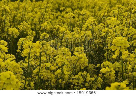 Oilseed Rape - known as Brassica napus scientifically - in flower