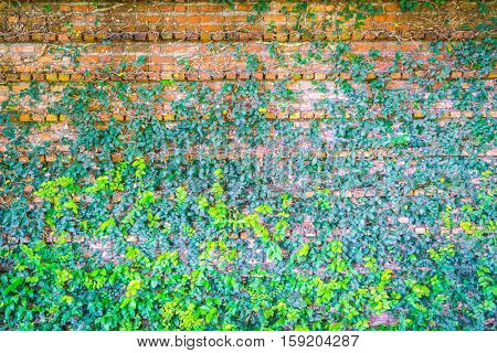Brick wall covered in green  ivy
