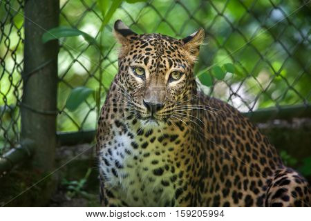 Sri Lankan leopard (Panthera pardus kotiya), also known as the Ceylon Leopard.