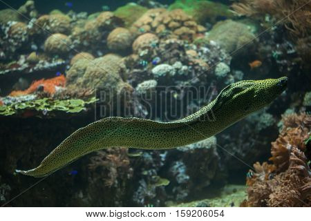 Laced moray (Gymnothorax favagineus), also known as the leopard moray.