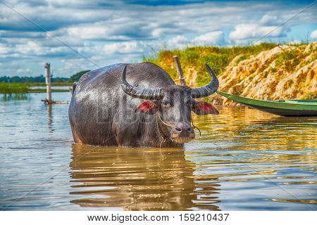 The domestic buffalo hides in river ,Thailand
