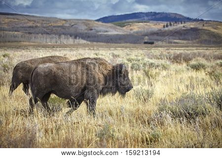 Two Adult American Bison Grazing In Grand Teton National Park, Usa.