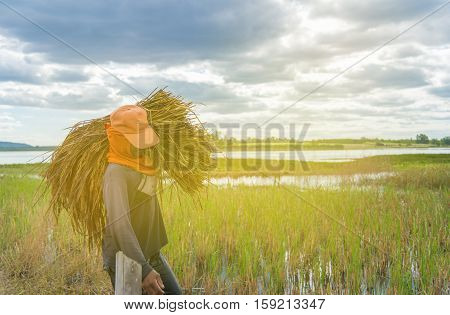 Farmer harvest rice in Thailand during harvest time last year