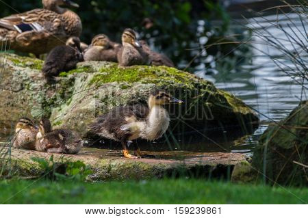 Little Ducklings at the Lake. Baby Ducks at the Lake. Baby Mallards in front of a Lake.