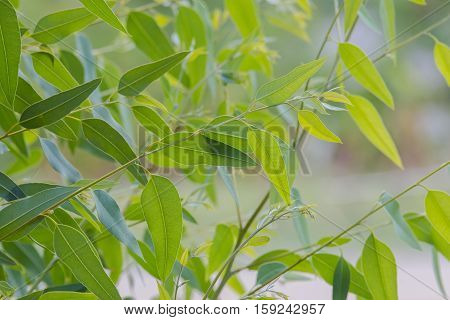 nature background of the eucalyptus leaves tree.