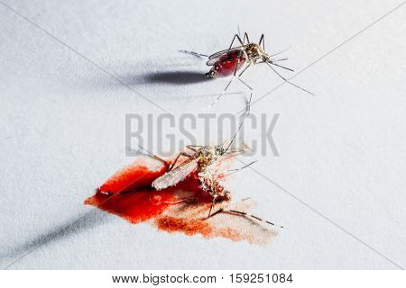 Closeup of mosquito after sucking blood and Mosquitoes dead have blood.