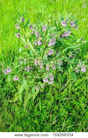Closeup of a violet and purple blossoming common comfrey or Symphytum officinale plant in its own natural habitat between other wild plants. It is springtime now.