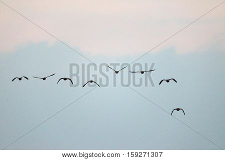 Group Of Greylag Geese Flying In Formation Through The Air.