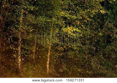 Yellow leaves of autumn foliage in a deciduous forest.