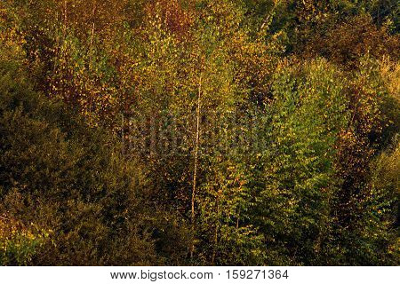 Colorful autumn foliage in a deciduous forest.