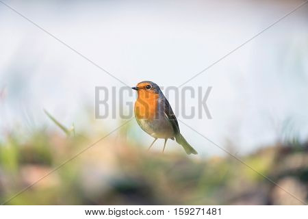 European Robin Perching Between Grass On Ground.