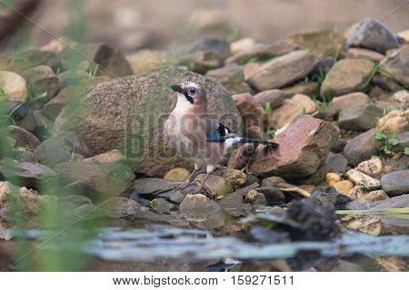 Eurasian Jay Perching On Stone At Water Edge.
