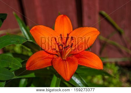 A nice tigerlilly flower in the daylight in Finland