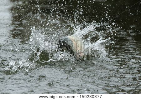 Hooked trout beats on a water with a lot of splashes