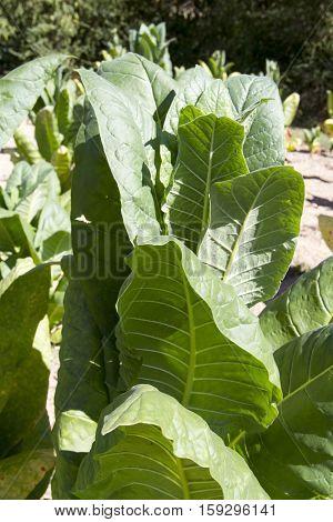 Tobacco Growing In Field