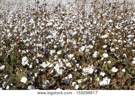 Field Of Cotton With Balls
