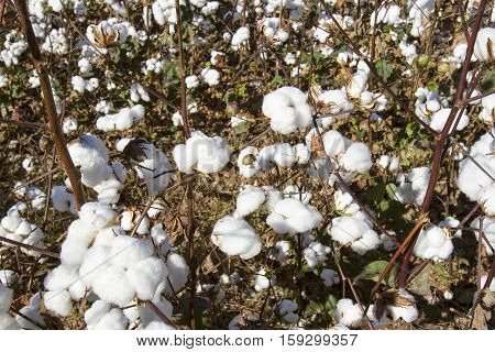 Cotton In Field