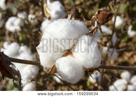 Cotton Bol On Plant