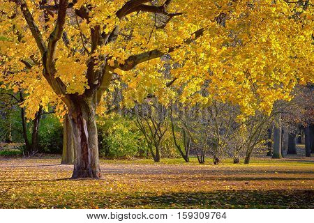 Trees with yellow leaves standing in a city park