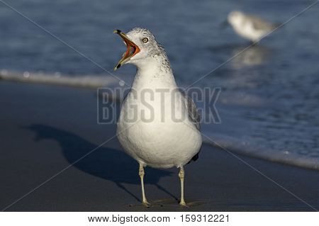 Ring-billed gull sounding the alarm on the beach in the later afternoon sun. It is a medium-sized gull with the scientific name of Larus delawarensis.