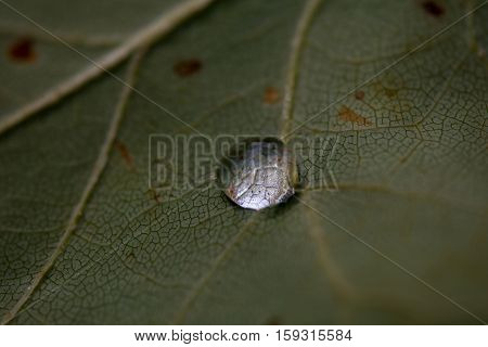 Close up of a water drop on the underside of a leaf showing vein pattern and refraction