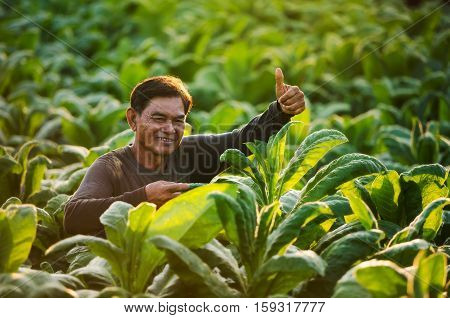 Thailand farmers are checking the quality of tobacco growing happily.