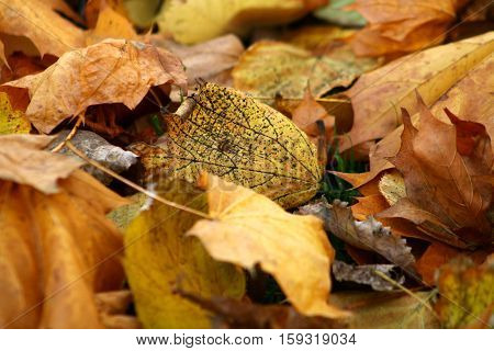 Yellow and brown wilted leaves fallen from a tree