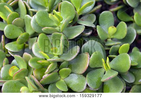 Crassula ovata (Jade Plant,Money Plant) succulent plant close up.Selective focus.Floral background.