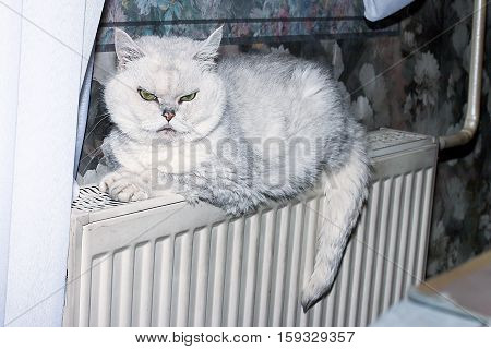 purebred gray house cat sits on a radiator