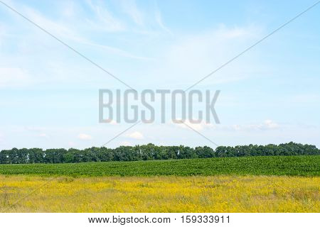 Yellow green field against the blue sky. Beautiful rural landscape.