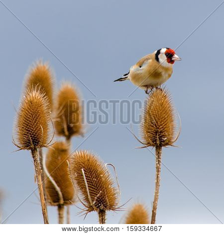 A proud Goldfinch holds sway over his territory of food. He perches on a Teasel seed head triumphant and ready to feed. Corbridge Northumberland, UK