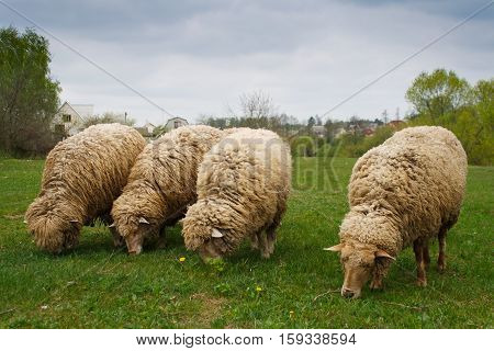 Be different. Four sheeps. Three stupid sheeps.